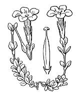Photographie n°2516 du taxon