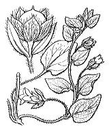 Photographie n°2522 du taxon