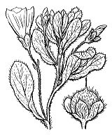 Photographie n°2523 du taxon