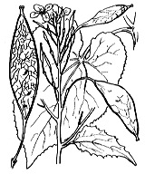 Photographie n°254 du taxon