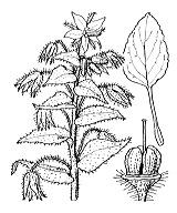 Photographie n°2547 du taxon