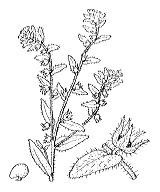 Photographie n°2562 du taxon