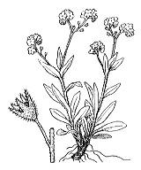 Photographie n°2600 du taxon