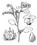 Photographie n°2617 du taxon