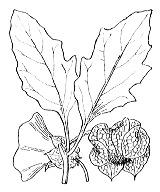 Photographie n°2629 du taxon
