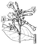 Photographie n°2634 du taxon