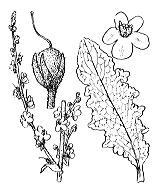 Photographie n°2642 du taxon
