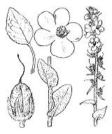 Photographie n°2645 du taxon