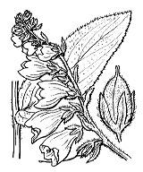 Photographie n°2708 du taxon