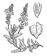 Photographie n°2721 du taxon