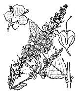 Photographie n°2749 du taxon