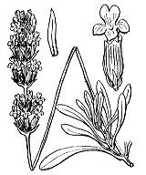Photographie n°2838 du taxon