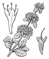 Photographie n°2844 du taxon