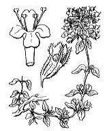 Photographie n°2850 du taxon