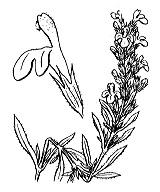 Photographie n°2864 du taxon