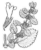 Photographie n°2880 du taxon