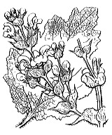Photographie n°2889 du taxon