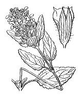Photographie n°2964 du taxon