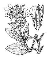Photographie n°2965 du taxon