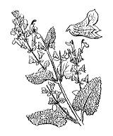 Photographie n°2979 du taxon