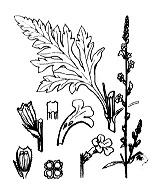 Photographie n°2990 du taxon