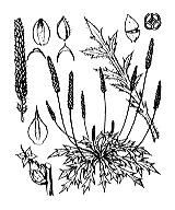 Photographie n°2995 du taxon