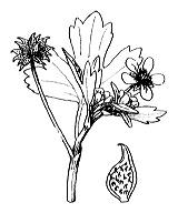Photographie n°30 du taxon