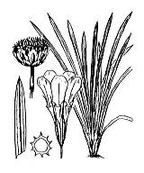Photographie n°3017 du taxon