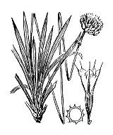 Photographie n°3018 du taxon