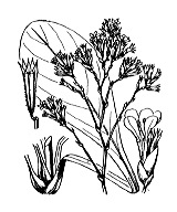 Photographie n°3033 du taxon