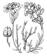 Photographie n°304 du taxon