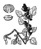 Photographie n°3093 du taxon