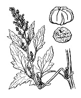 Photographie n°3100 du taxon