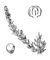 Photographie n°3113 du taxon