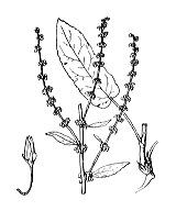 Photographie n°3130 du taxon