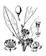Photographie n°3173 du taxon