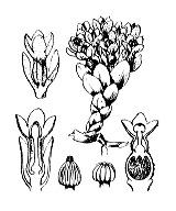 Photographie n°3187 du taxon