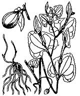Photographie n°3190 du taxon