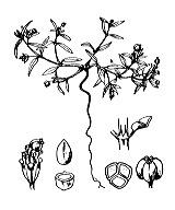 Photographie n°3199 du taxon