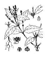Photographie n°3248 du taxon
