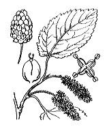 Photographie n°3265 du taxon