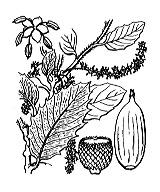 Photographie n°3271 du taxon