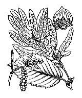 Photographie n°3280 du taxon