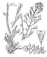 Photographie n°330 du taxon