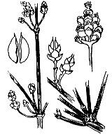 Photographie n°3323 du taxon