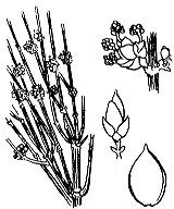 Photographie n°3324 du taxon