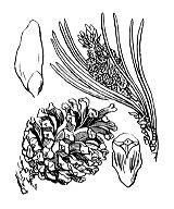 Photographie n°3340 du taxon