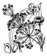 Photographie n°3355 du taxon
