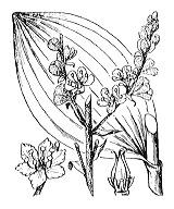 Photographie n°3356 du taxon