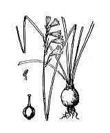 Photographie n°3420 du taxon